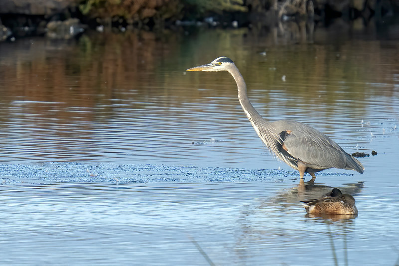 Great Blue Heron at Don Edwards Refuge (South Bay)
