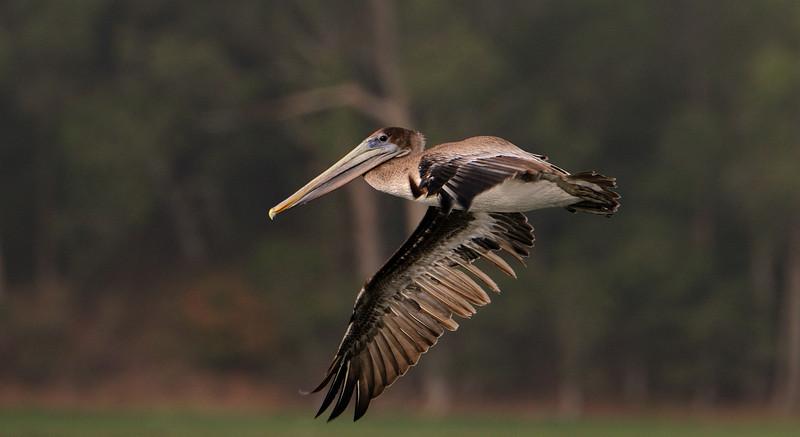 Pelican Flights