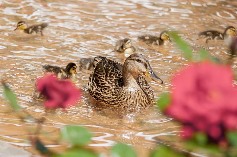 Duck Family IV