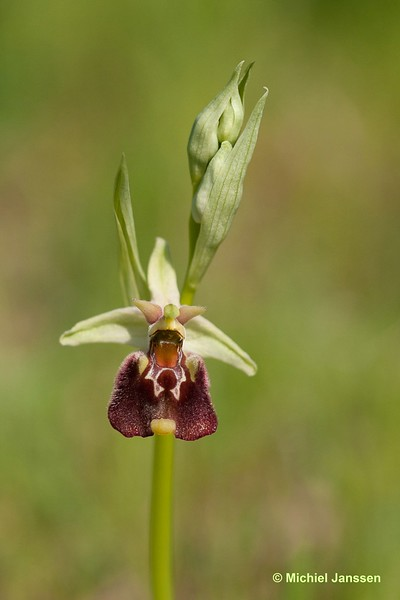 Ophrys parvimaculata - Small-paterned ophrys