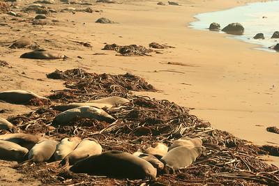 Cambria Sea Lions