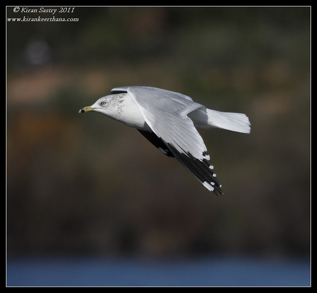 Ring-billed gull, Lake Murray, San Diego County, California, December 2011