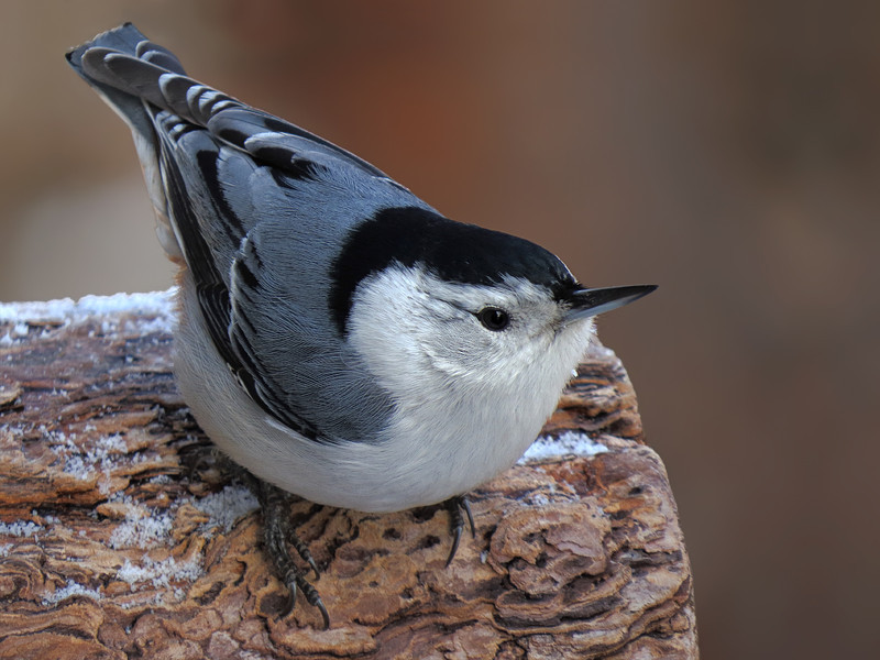 sx50_nuthatch_portrait_dpp_cr2_020.jpg