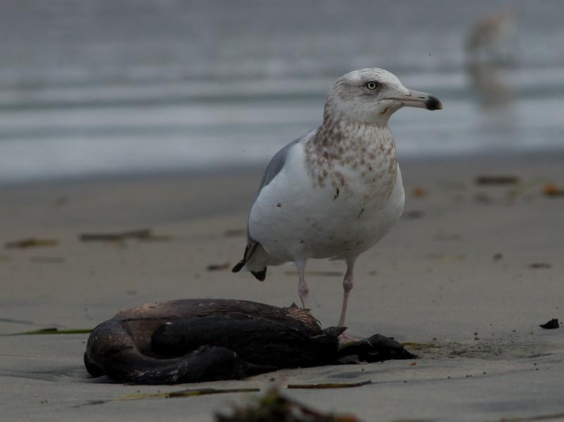 Herring Gull  Ponto Beach 2015 01 30-1.CR2