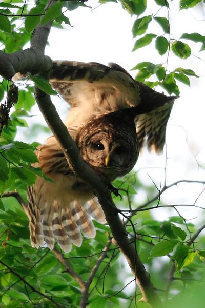 Barred Owl stretch Fairfax County, Virginia