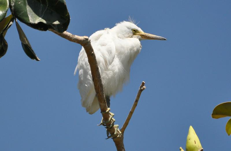 Juv. Snowy Egret.JPG