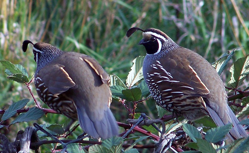 California Quail- back fence