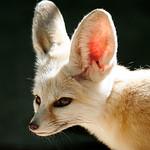 Fox in Sydney Zoo.jpg