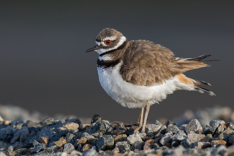 Killdeer Nesting Season 2018
