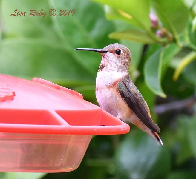 Allen's Hummingbird - 6/27/2019 - Backyard, Sabre Springs