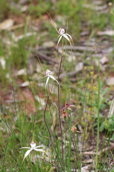 Caladenia venusta - Large White Spider Orchid - Anglesea