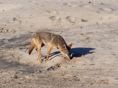 Coyote April 16 2018