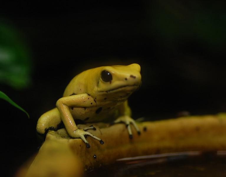 Yellowfrog.jpg