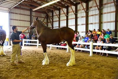 22 580 Grand Champion Clyde Stallion