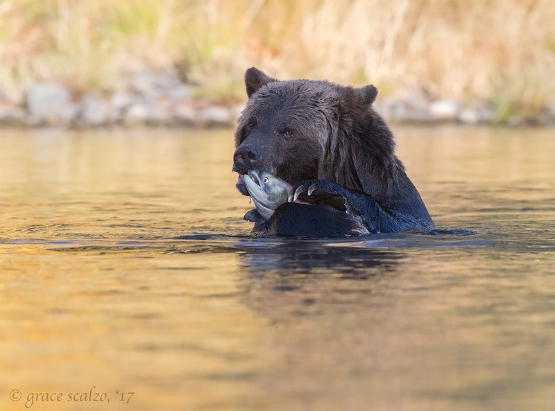 Grizzly bear fishing sequence #5