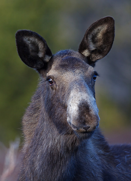 Cow Moose in the Bighorn Mountains of north-central Wyoming
