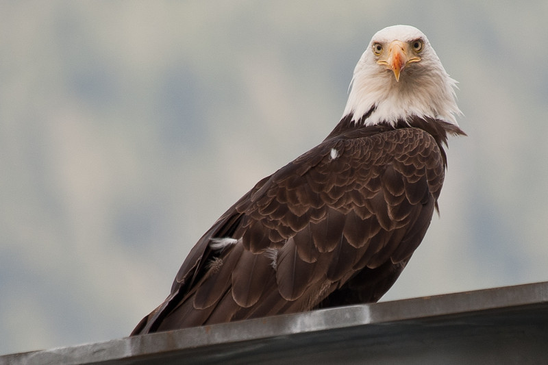 He landed nearby on a high platform to eat his catch, but kept looking at me and my long lens.
