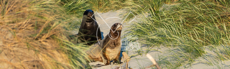 Couple New Zealand Sea Lions (Phocarctos hookeri) in the dunes