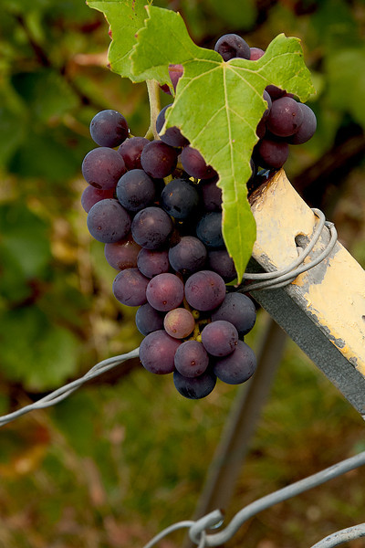 Pinot Noir grapes in Champagne - very interesting how they can make white wine/champagne from red grapes