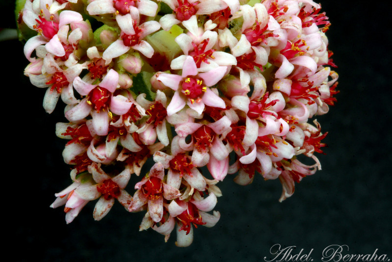 CRASSULA Bride's Bouquet