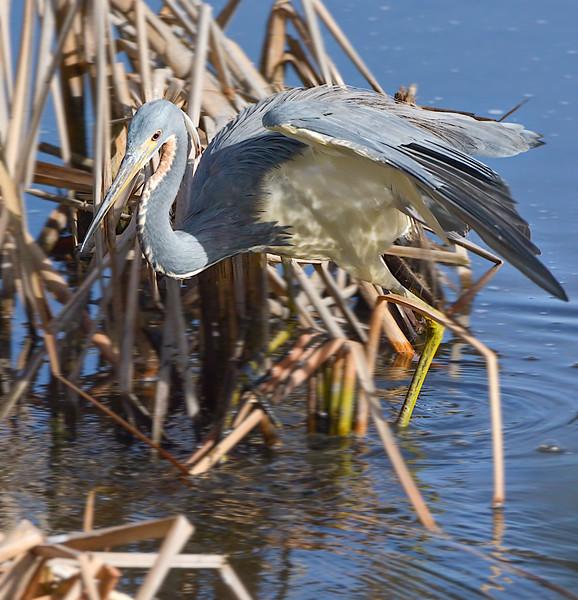 2018 huntington state beach egret tba wings up-.jpg