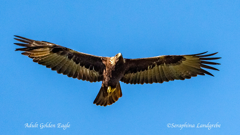 _DSC9248 Adult Golden Eagle.jpg