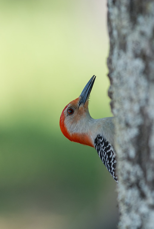 Red-bellied Woodpecker Profile