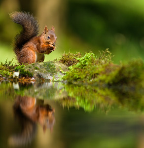 Red Squirrels in the Yorkshire Dales