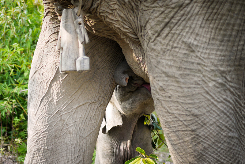 A baby boy elephant and his mom