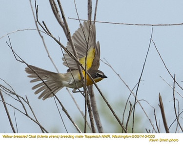 Yellow-breasted Chat M24322.jpg