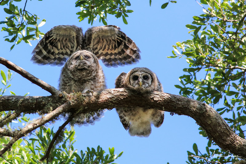 Two young barred owls