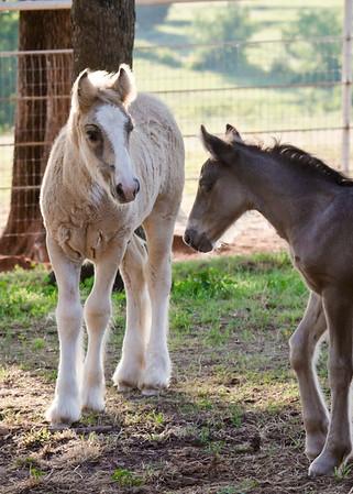 4C's Gypsy Horses
