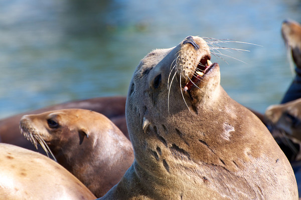 Sea Lions - Elkhorn Slough