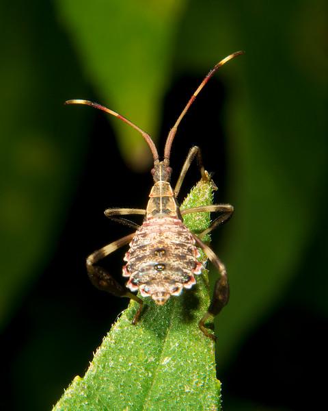 Leaf-Footed Bug Nymph Tribe Acanthocephala NDX9645.jpg