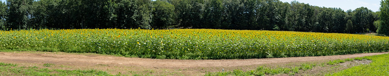 Blog-20190725-ButtonwoodFarm-Sunflowers-Pano-Gallery