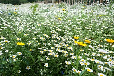 Meadow of wild flowers on Turnham Green, London, United Kingdom