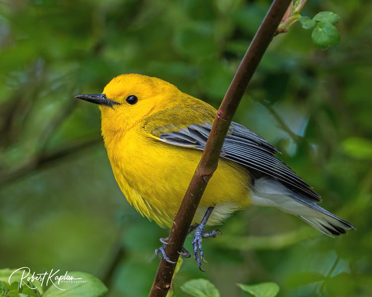Prothonotary Warbler DeNoised_7915-2.jpg