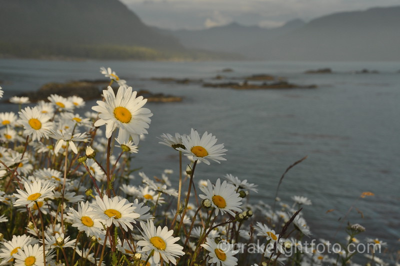 Daisys in Nutchatlitz Inlet