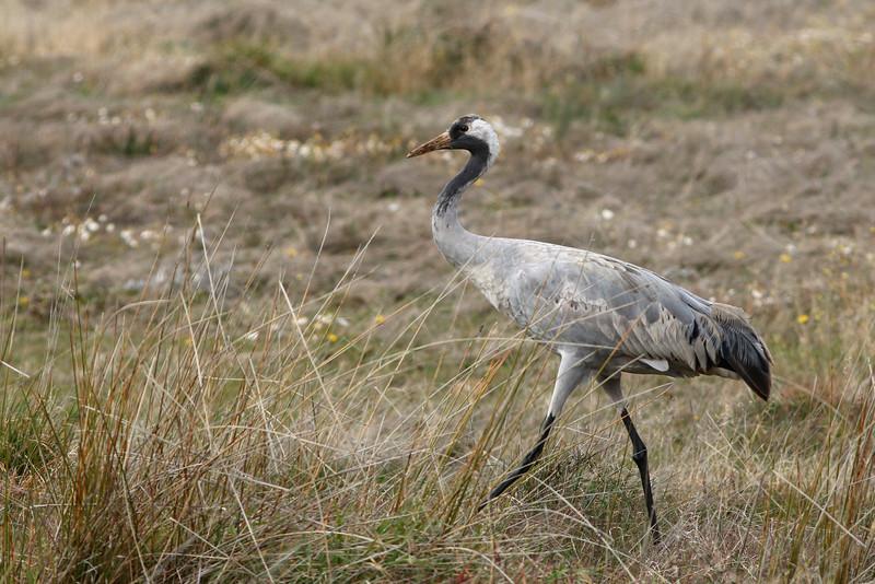 Grue cendrée - <i>Grus grus</i> - Common Crane