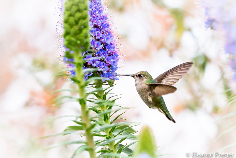 Hummingbirds Pointing It Out