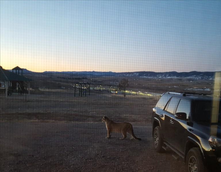 40 Mountain Lion.jpg