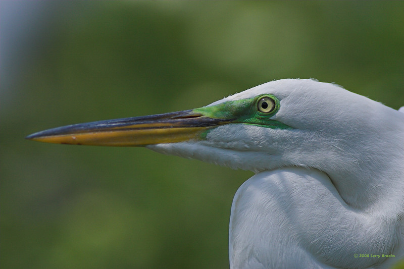 A Great Egret shows off his breeding colors at Gatorland.