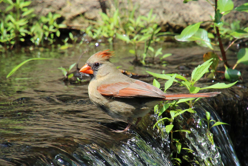 Cardinal on waterfall