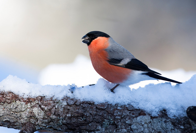 Bullfinch Norway.jpg