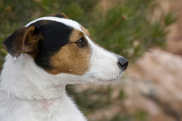 Parson Russell Terrier MD