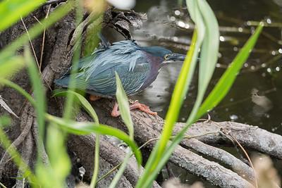 03_Everglades - Heron - Green
