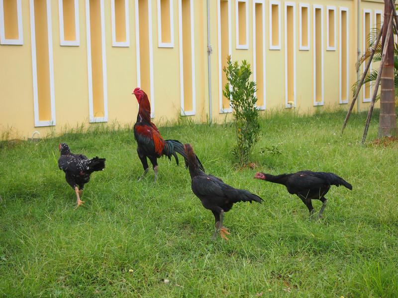 P4096564-chickens.JPG