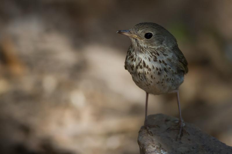Hermit Thrush - Carr Canyon, Nr. Sierra Vista, AZ, USA