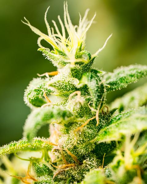 Cannabis Photography | Good Meds