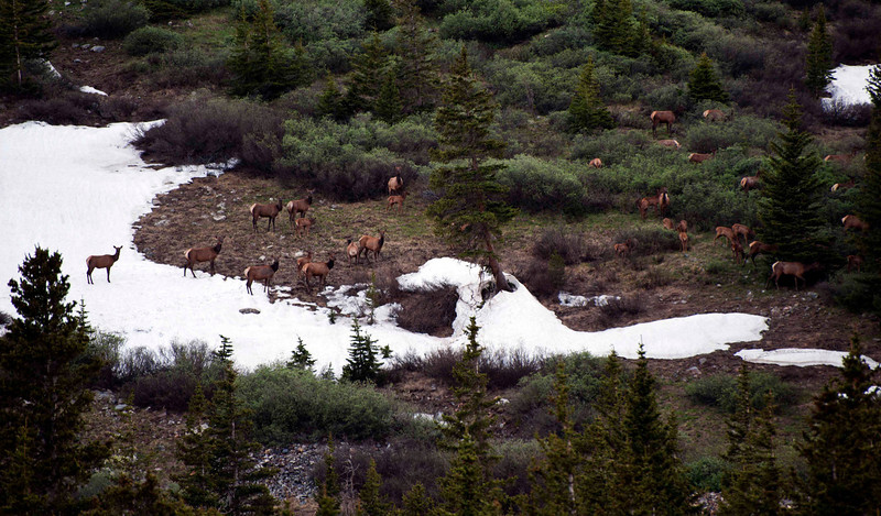 Headed up to Kite Lake - bristlecone pines, extensive wildflowers, beautiful views.  I couldn't get to the Lake - a snow plug blocking the road.  On the way down, found this herd of cow elk and their babies.  Wishing for a seriously long lens. . . .